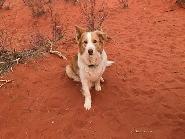 Travelling with Dogs: Visiting Uluru with your dog