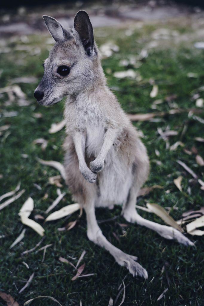 Kangaroo Haven Kununurra