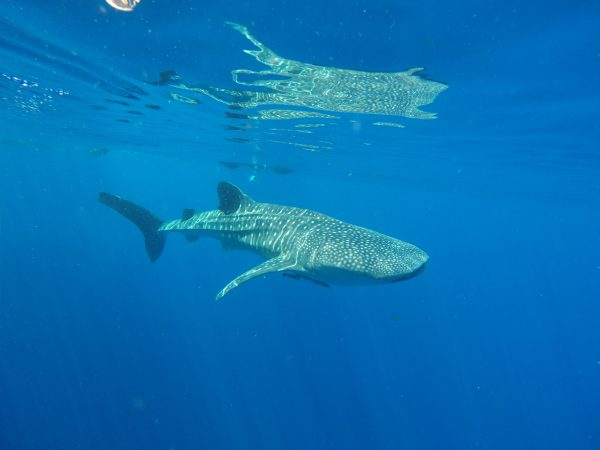 Whale sharks arrive early in Ningaloo for 2020 season