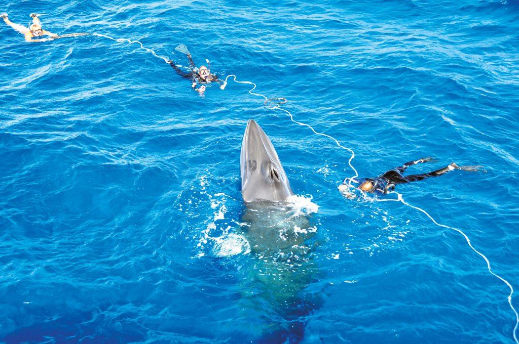 Swim with Minke Whales Cairns